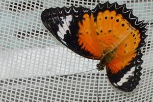 tache aile papillon