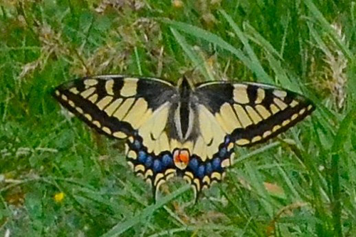 Le Grand Porte-queue ou papilio machaon