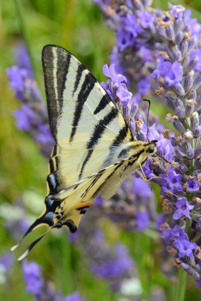 image de papillon rien que pour votre plaisir
